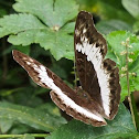 Common White Glider (female)
