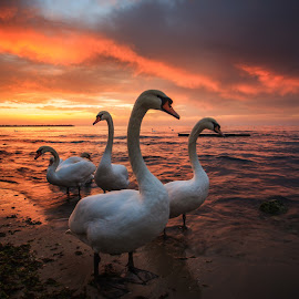 Winter friends by Nikolay Stoilov - Animals Birds ( water, wild, orange, white, sea, beach, morning, close-up, bird, nature, swan, sunrise, mute, animal )