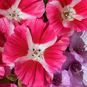 Godetia's Galore by Ed Hanson - Flowers Flower Gardens ( purple, pink, flowers, garden )