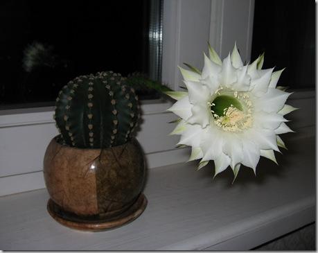 2008-08-28 Cactus2