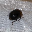 Tree Fungus Darkling Beetle