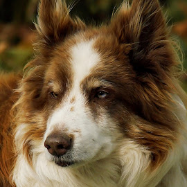 Jimi by Deanna Ramsay - Animals - Dogs Portraits ( animals, border collie, dogs, head shot, pets )