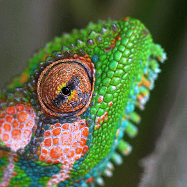 Chameleon  by Seppie Malherbe - Animals Reptiles (  )