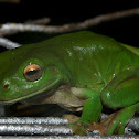 Common Green Tree Frog