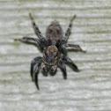 Naphrys pulex Jumping Spider