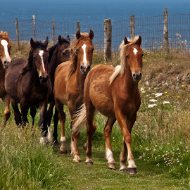 St David's Ponies by Graham White - Animals Horses ( pony, animals, royalty free photo, photograph, horses, st david's ponies, royalty free stock image, wales, horse, pictures, wild ponies, stock photograph, stock photographs, royalty free stock photo, coast, picture, st david's, stock image, ponies, images, stock photo )
