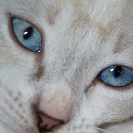 Look into my eyes by Denise Flay - Animals - Cats Kittens (  )