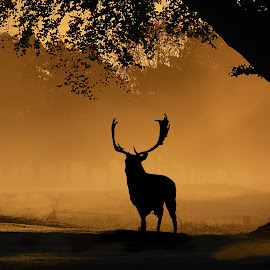 Stag Silhouette by Steve Adams - Animals Other Mammals ( sunset, buck, sunrise, stag, deer )
