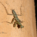 Bark Mantis or Lichen Mantis