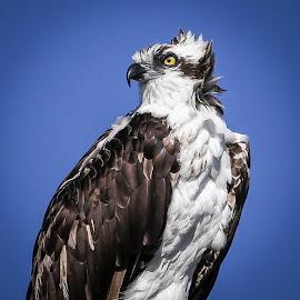 Sea Protector by Jared Lantzman - Animals Birds ( scary, bird blue, stong, yellow, powerful, hawk, warrior, bird, seahawk, ospery, fierce, fast, large, eye,  )