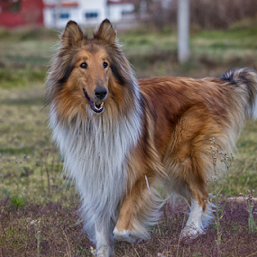 Collie by Cristobal Garciaferro Rubio - Animals - Dogs Portraits ( collie, male, dog )