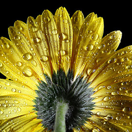 Yellow Gerbera  #3 by Rakesh Syal - Flowers Single Flower
