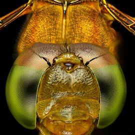 Dragon's Face by Dave Lerio - Animals Insects & Spiders (  )