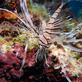 Lionfish by Carlien Oberholzer - Animals Sea Creatures