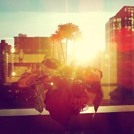 DaisyTheSunBreaker by Victor del Castillo - Instagram & Mobile Instagram ( nature, flower, gerbera, city, sun, vancouver, wandervancouver, plants )
