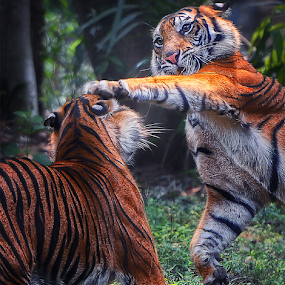 Fighting by Doeh Namaku - Animals Lions, Tigers & Big Cats