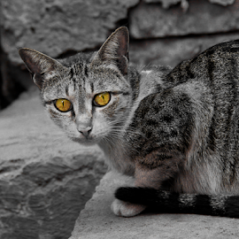 Killer Eyes by Shoubhik Pande - Novices Only Pets ( cat, selective, kill, killer, feline, eyes )