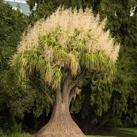 adelaide tree by Sean Heatley - Nature Up Close Trees & Bushes ( plant, south australia, tourist, tree, australia, adelaide parklands, adelaide, travel, botanical gardens )