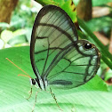 Clear-winged understory Buttefly