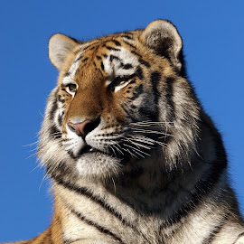 Blue sky tiger by Garry Chisholm - Animals Lions, Tigers & Big Cats ( big cat, garry chisholm, predator, carnivore, nature, tiger, wildlife, feline )