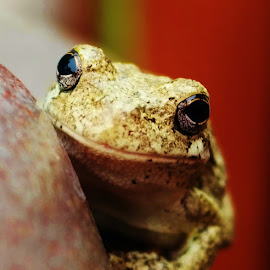 by Lori Kulik - Animals Amphibians ( frog,  )