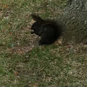 Eastern Gray Squirrel (melanistic)