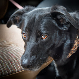 Pepper by Pete Lebow - Animals - Dogs Portraits ( border collie, pepper, black lab, dog, borador, portrait )