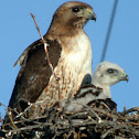 Red-tailed Hawk (Fuertes's)