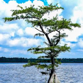 Cypress Tree by Carol Plummer - Nature Up Close Trees & Bushes ( water, nature, tree, waterscape, cypress, lake, landscape )