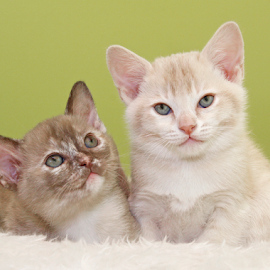 Sister and brother by Mia Ikonen - Animals - Cats Kittens ( finland, adorable, siblings, cute, burmese,  )