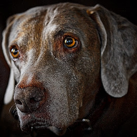 Hazel Eyes by Jim Antonicello - Animals - Dogs Portraits ( hazel, dog, friend, eyes )