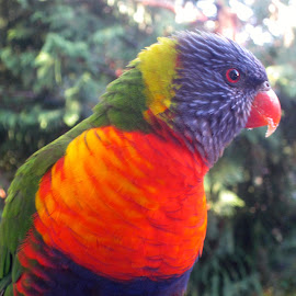 Lorikeet by Mandy Dale - Novices Only Wildlife