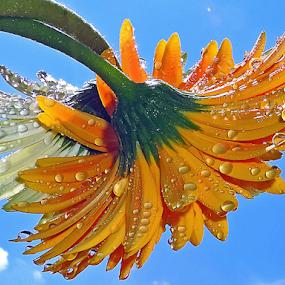 twoo gerbers by LADOCKi Elvira - Flowers Flower Arangements ( nature, 2014, flowers, garden,  )