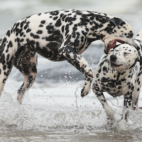 The bite by Rian Van Schalkwyk - Animals - Dogs Playing ( playful, dogs, bite, dalmations, sea,  )