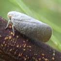 Grey Planthopper