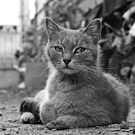Mona Lisa by Silviu Tanasescu - Animals - Cats Portraits ( black and white, animal )