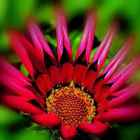 Flower by Željko Oskoruš - Flowers Single Flower