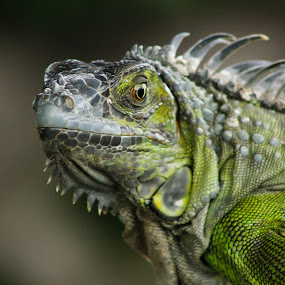 Iguana by Debra Martins - Animals Reptiles ( nature, iguana, wildlife, portrait, animal )