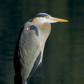 Hank Heron by Susan Felhouser - Novices Only Wildlife