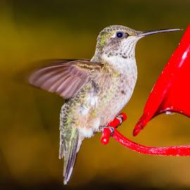 Hummingbird Portrait by Jennifer McWhirt - Animals Birds ( animals, hummingbird, tennessee, birds, hummer )