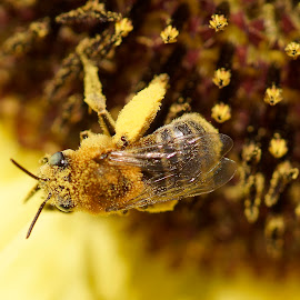camouflage by Helen Bagley - Nature Up Close Gardens & Produce ( macro, bees, pollen, sunflowers, yellow )