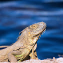 Green iguana (adults)