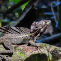 Brown basilisk (male)