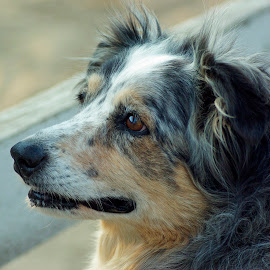 Old girl by Giselle Pierce - Animals - Dogs Portraits ( herding dog, puppy, man's best friend, dog, aussie )