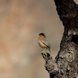 Brahminy Starling by Durga Lal  Verma - Animals Birds