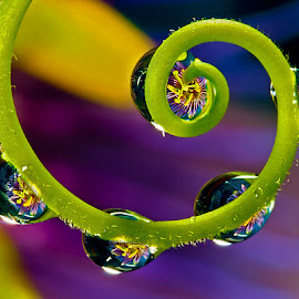 Culy-que stem with drops with passion flower by David Winchester - Nature Up Close Natural Waterdrops
