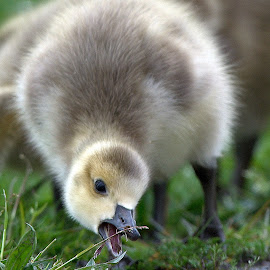 Yummy! by Gary Davenport - Animals Birds ( gosling, lessons, eating, cute, goose, baby, young, animal )