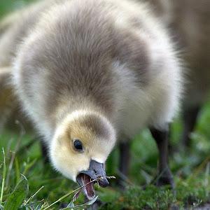geese22_GRD2904.jpg