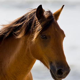 Wild Island Mare by Rod Schrader - Animals Horses