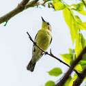 Golden-bellied Gerygone